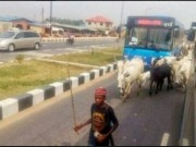 Cattles on the Lagos expressway